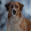 Харрисон Форд с псом отправляются в Юкон в трейлере фильма «Зов предков» (Видео)