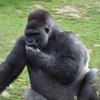Майкл Бубле сыграл концерт для своих поклонников-горилл (Видео)